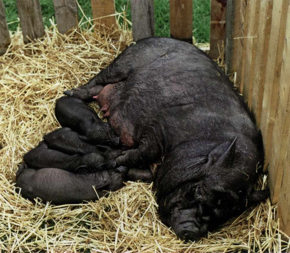 кожные болезни вьетнамских свиней и их лечение фото