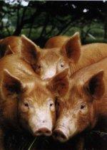 Основы свиноводства (часть первая)