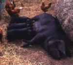 Основы свиноводства (часть вторая)