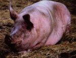 Основы свиноводства (часть третья)