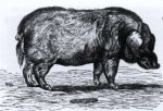 Wild boar and domestication (part two)