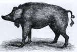Wild boar and domestication (part three)