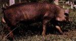 Новые породы свиней (часть первая)