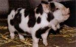 Новые породы свиней (часть третья)
