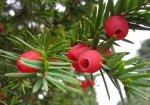 Старейшее дерево Великобритании сменило пол